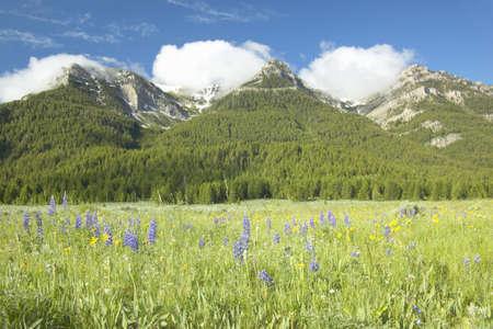 centennial: Viola lupino e montagne in Centennial Valley vicino a Lakeview, MT Archivio Fotografico