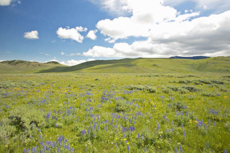 western usa: Purple lupine and mountains in Centennial Valley near Lakeview, MT