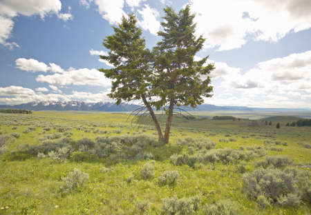 lakeview: Two trees, spring grasslands and flowers in Centennial Valley near Lakeview, MT