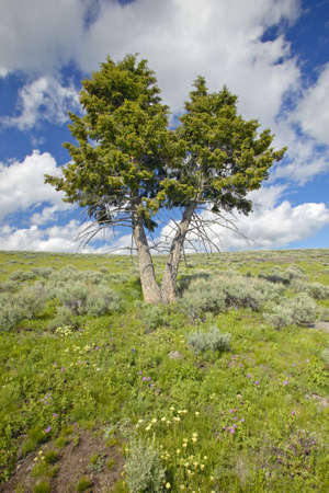 lakeview: Two trees, spring flowers and mountains in in Centennial Valley near Lakeview, MT