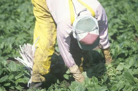 joaquin: Migrant farmer worker picking tobacco in the San Joaquin Valley, CA