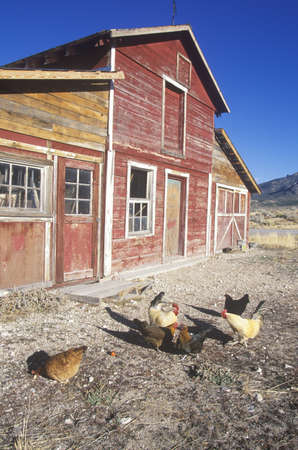 nv: Red barn with chickens in yard, NV