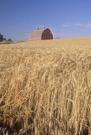 A wheat field and barn in Southeast WA Editorial
