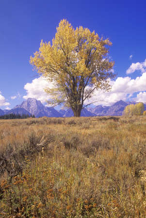 cottonwood tree: Cottonwood Tree In Grand Teton National Park, Jackson, Wyoming Editorial