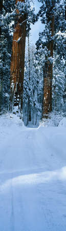 This is a winter road that leads into Sequoia National Park. It shows the redwoods of the Giant Forest in the snow. photo