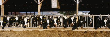 These are a large row of cows eating breakfast at a dairy farm. They are eating from their stalls in their barn.