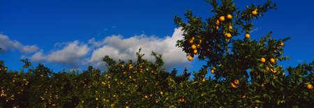 이들은 오렌지 나무에 잘 익은 오렌지가 있습니다. 그들은 더 큰 오렌지 과수원의 일부입니다.