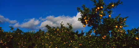 orange grove: These are orange trees with ripe oranges on them. They are part of a larger orange grove. Stock Photo