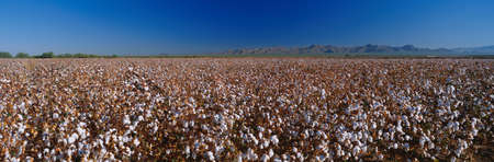 This is a large cotton field. There are rows and rows of cotton plants almost ready to be harvested.
