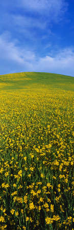 mustard seed: This is a spring field of mustard seed near Lake Casitas. The field is green and yellow with its flowers. Stock Photo
