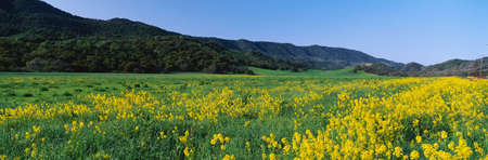 widespread: This is a spring field of mustard plants. the flowers are yellow set amongst a green field and the green Topa Topa Mountains in the background.