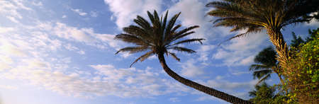 north shore: This is an outstretched palm tree under a blue sky with white puffy clouds. It is on the north shore of the island.