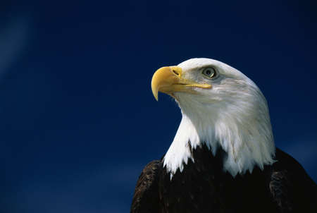 patriotic eagle: This is a mature American bald eagle from the National Foundation to Protect Americas Eagles. His name is Challenger. It shows his upper body with his head and beak facing left, looking out. Stock Photo