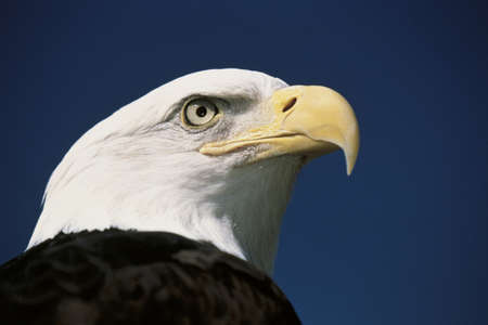 facing right: This is a mature American bald eagle from the National Foundation to Protect Americas Eagles. His name is Challenger. It shows his upper body with his head and beak facing right, looking out.