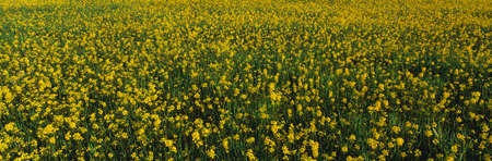 mustard seed: This is a spring field of yellow mustard seed. It is located near Lake Casitas. Stock Photo