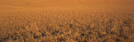 This is a close up of a golden field of wheat. Banco de Imagens