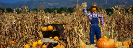 pumpkin patch: This is a Pumpkin Patch at the Boccalis Ranch. There is a scarecrow in a straw hat and overalls next to a wheelbarrow and tall corn stalks. It is fall and they are getting ready to celebrate Halloween. Stock Photo