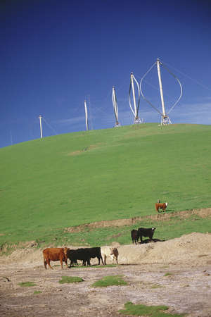 altamont pass: Wind farm with cattle in foreground