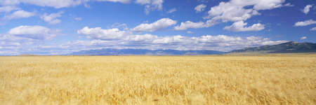 visions of america: Golden field under sky with clouds