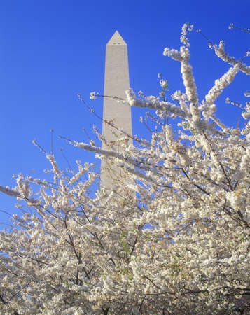 Washington National Monument with cherry blossoms in springtime, Washington D.C.