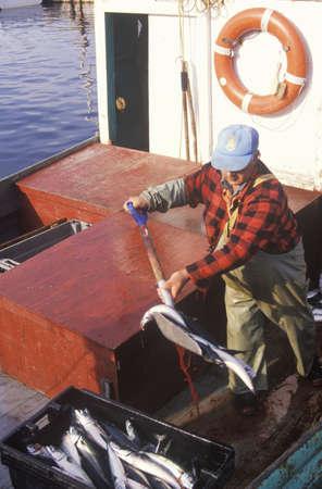 Fisherman with catch of mackerel, Neils Harbor, Cape Breton, Nova Scotia, Canada