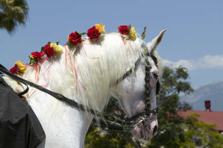 spaniards: Horses mane with flowers during opening day parade down State Street, Santa Barbara, CA, Old Spanish Days Fiesta, August 3-7, 2005
