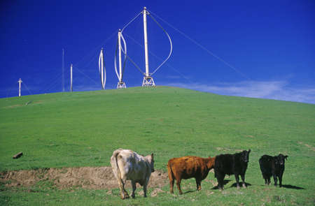 altamont pass: Cows in front of wind turbines at Altamont Pass, CA