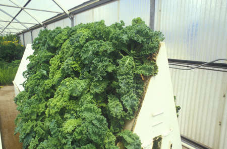natural sciences: Hydroponic lettuce farming at the University of Arizona Environmental Research Laboratory in Tucson, AZ