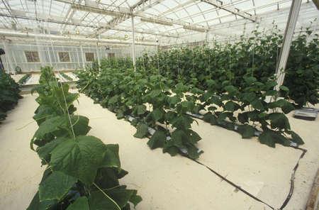 natural sciences: Hydroponic lettuce farming at the EPCOT Center, FL