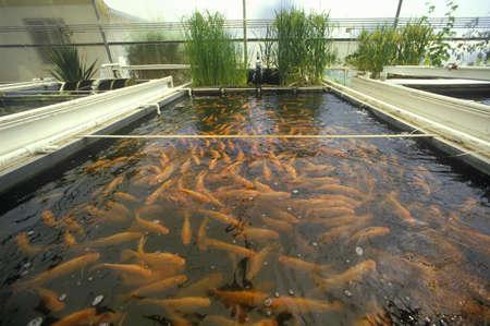 fish farming: La acuicultura piscicultura en la Universidad del Laboratorio de Investigaci�n Ambiental de Arizona en Tucson, AZ
