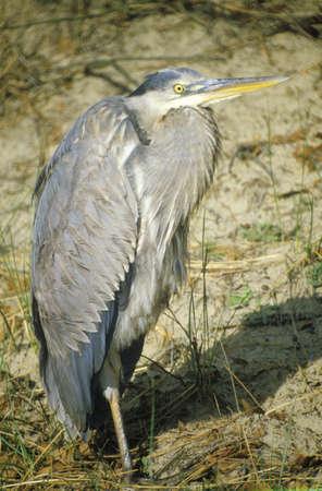 md: Close-up of Heron, Assateague National Wildlife Refuge, MD