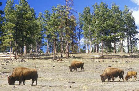 denver co: Bison pastoreo fuera de Denver, CO