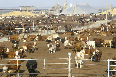 inhumane: Cattle feed lots