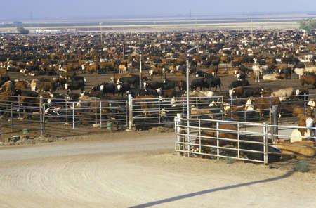 Cattle feed lots