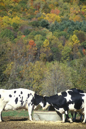 Cattle drinking from trough in Autumn on Route 7, CT