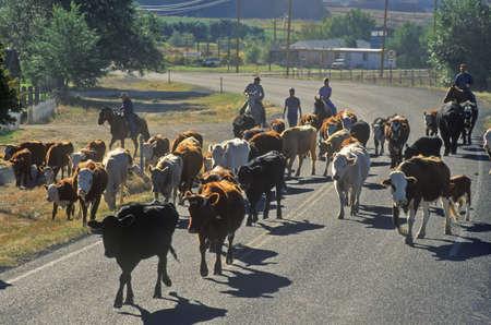 ut: Cattle drive on Route 12, Escalante, UT