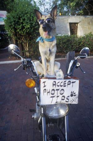German Shepherd posing for photo, Sunset Pier, Mallory Square, Key West, FL