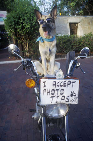 humor: German Shepherd posing for photo, Sunset Pier, Mallory Square, Key West, FL