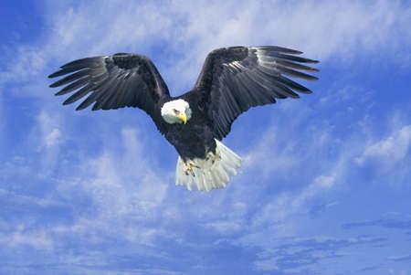 tn: American Bald Eagle, Pigeon Fork, TN