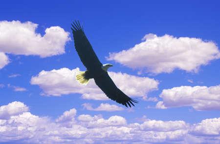 tn: American Bald Eagle  in Flight, Pigeon Fork, TN