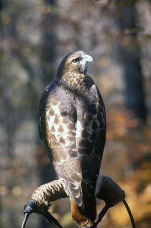 red tailed hawk: Red Tailed Hawk, Land Between Lakes, KY