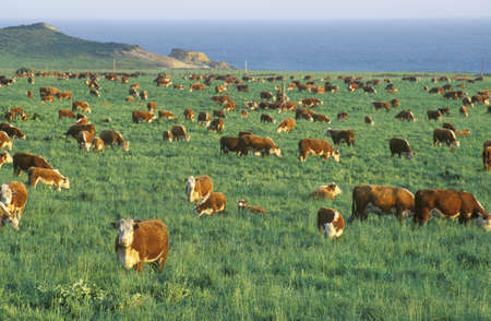 Grazing Hereford cattle, on PCH, CA