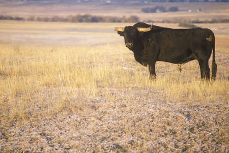 longhorn cattle: Longhorn ganado en NE pradera
