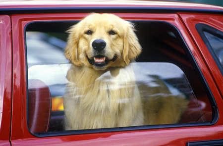 Dog in red car window, Miami, FL