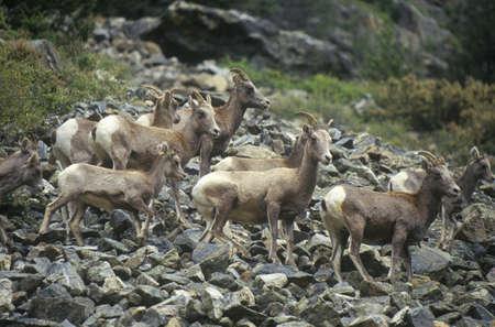 denver co: Wild Mountain Goats, Denver, CO Editorial