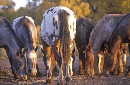 mn: Ponies grazing, Taos, MN Editorial