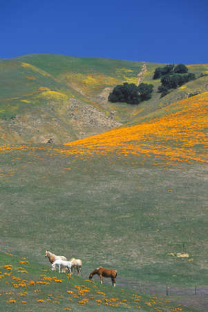 Horses in poppy field and wildflowers, Antelope Valley, Lancaster, CA