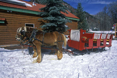 horse sleigh: Horses pulling sleigh in snow during holidays, Lazy Z Ranch, Aspen, Maroon Bells, CO Editorial