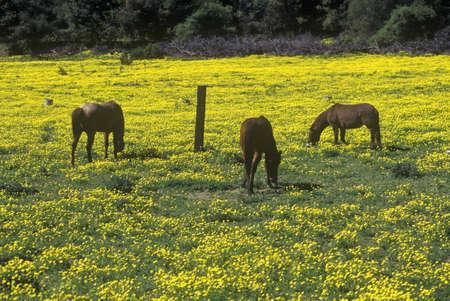 to paula: Horses grazing in spring field, Santa Paula, CA Editorial