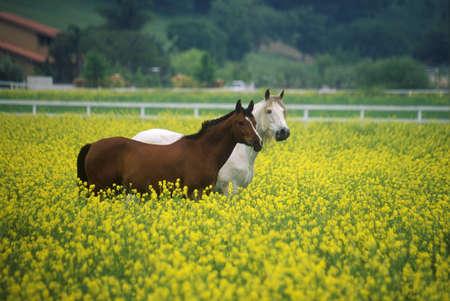 Two horses in mustard field, springtime, Ojai, CA